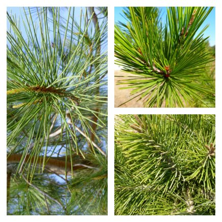 Acículas de tres pinos presentes en el Arboretum.