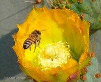 Una abeja (Hymenoptera) visitando la flor del nopal tapón (Opuntia robusta).