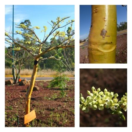 Piñoncillo - árbol, detalle de la corteza y flores.