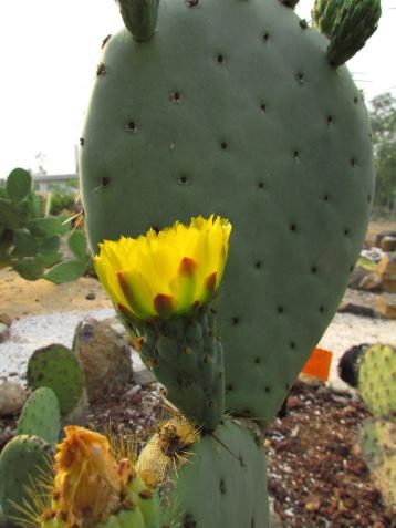 Nopal tapón con flor. (Foto: Juan Martínez Cruz)