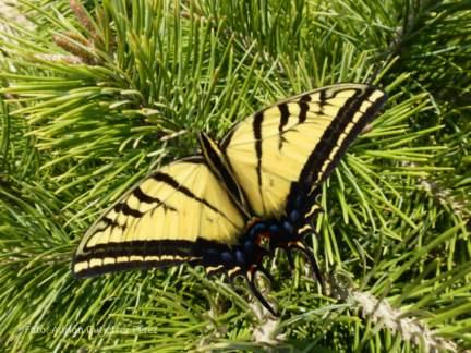 Mariposa tigre (Papilio multicaudata) posada sobre un pino en el Arboretum.