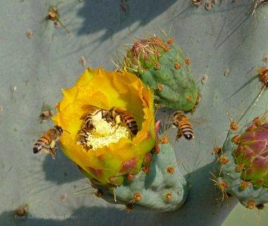 Abejas polinizando las flores del nopal tapón (Opuntia robusta).