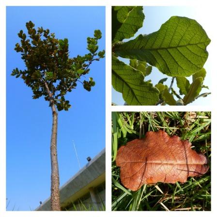 Encino y sus hojas.