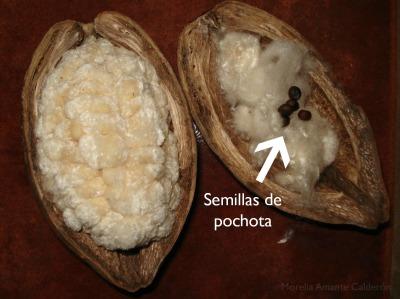 Fruto de pochota con las semillas y algodón.