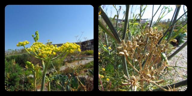 Flores y frutos del hinojo.