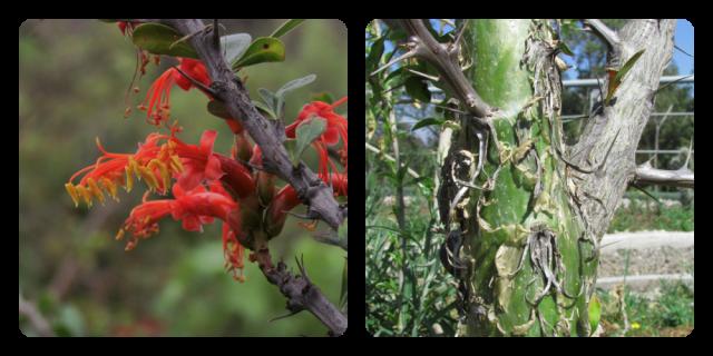 Flores y tronco de ocotillo.