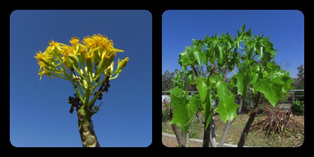 Flores y hojas de palo loco.